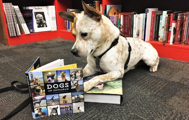 A white dog with red freckles lays in a bookstore, his front paws rest on a book and he is looking down into a second, open book