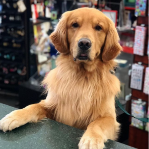 golden retriever with paws on the counter at Bookmans Flagstaff